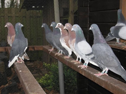 mahutian tipplers pigeon
