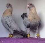 süs güvercinleri 020