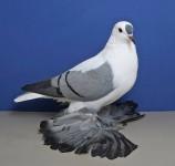 süs güvercinleri 023
