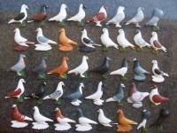 pigeon biblo 015