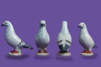 pigeon biblo 017