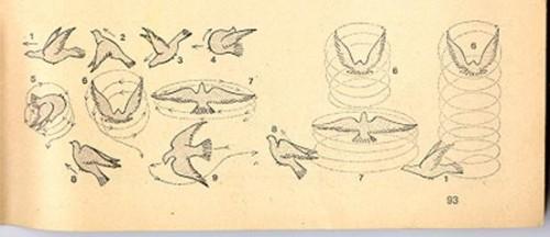 orientalroller pigeons