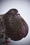 süs güvercinleri 012