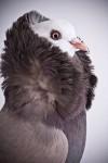 süs güvercinleri 013
