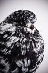 süs güvercinleri 015