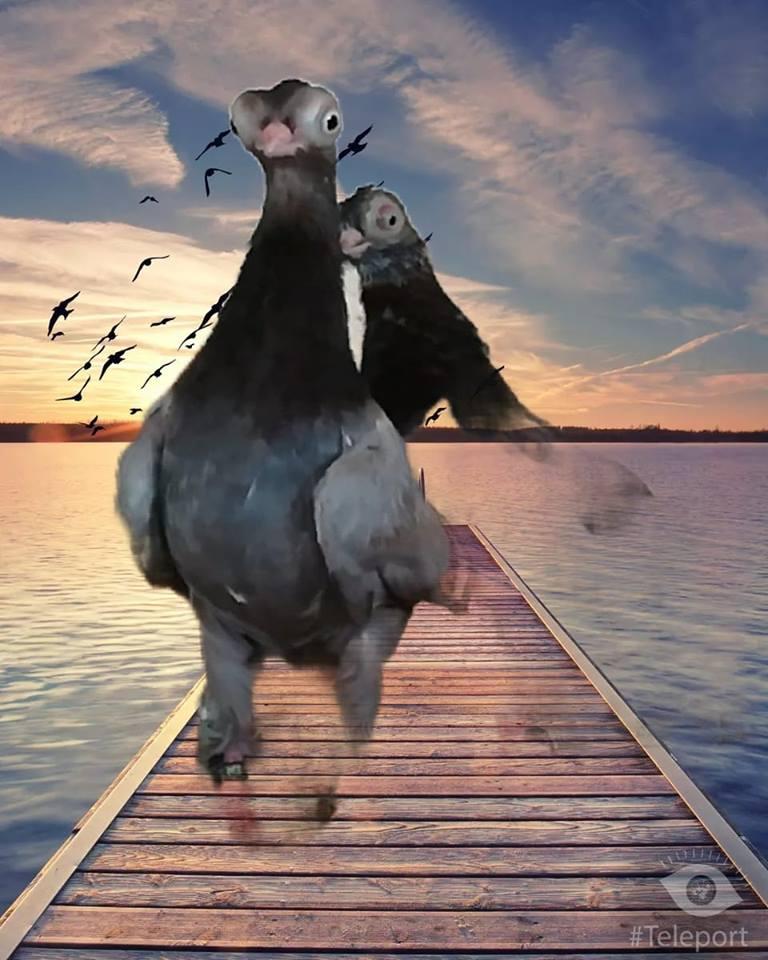 Budapeşte japon güvercini 005
