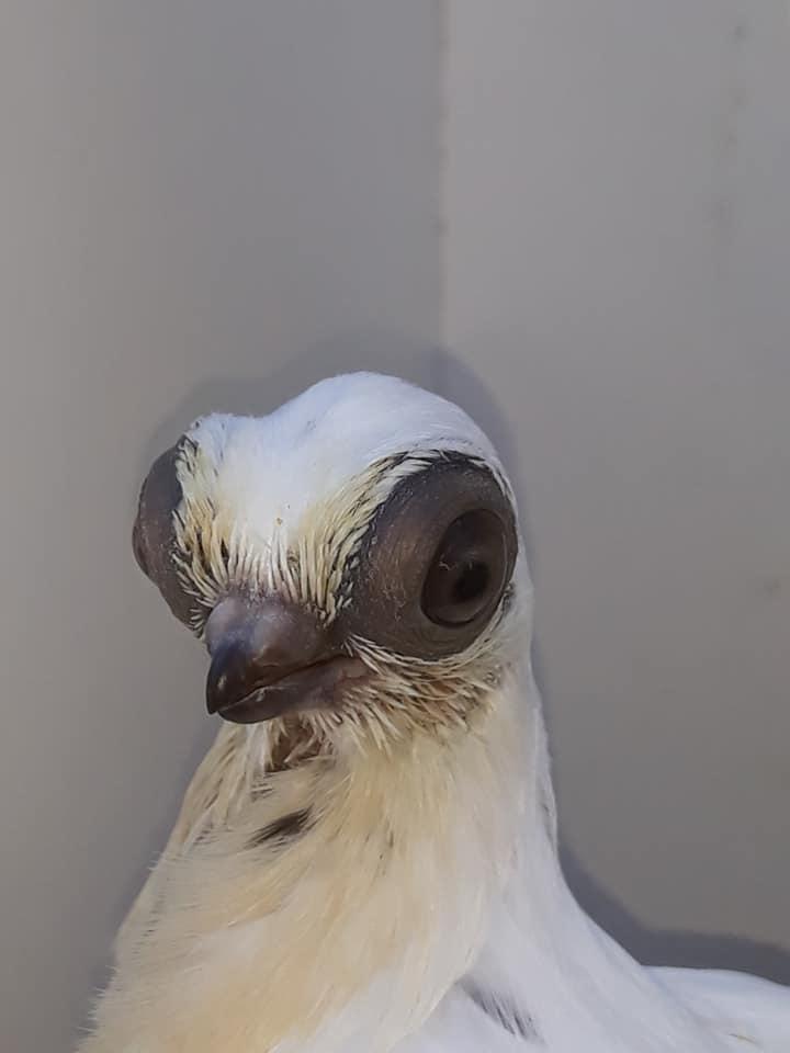 Budapeşte japon güvercini 008