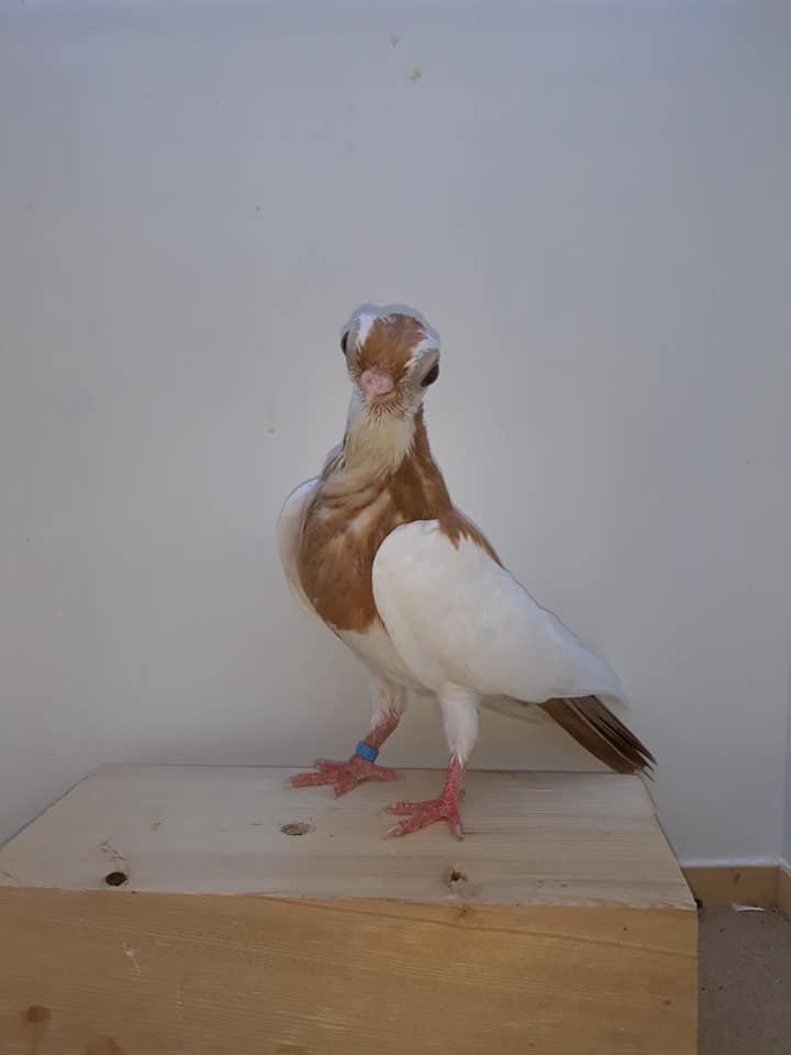 Budapeşte japon güvercini 011