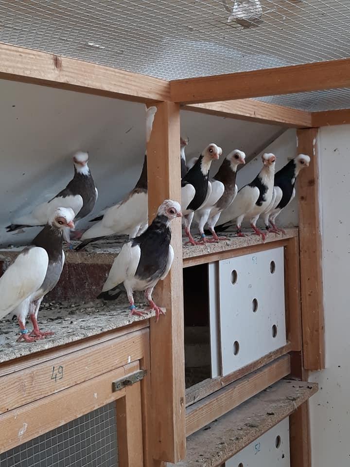 Budapeşte japon güvercini 020