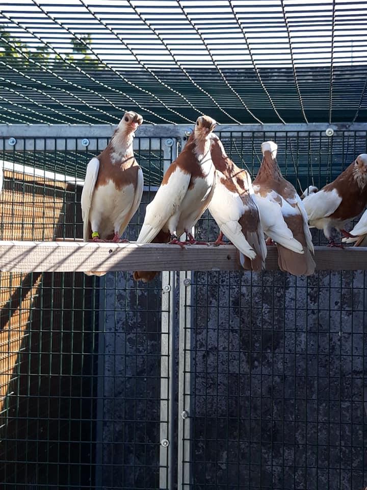 Budapeşte japon güvercini 023