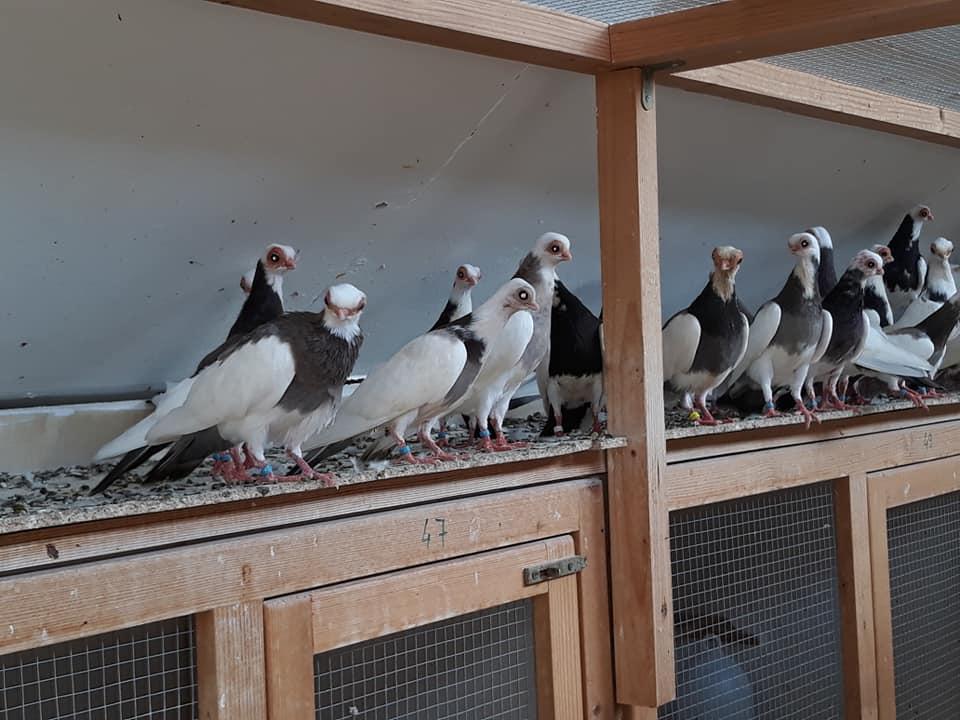 Budapeşte japon güvercini 029