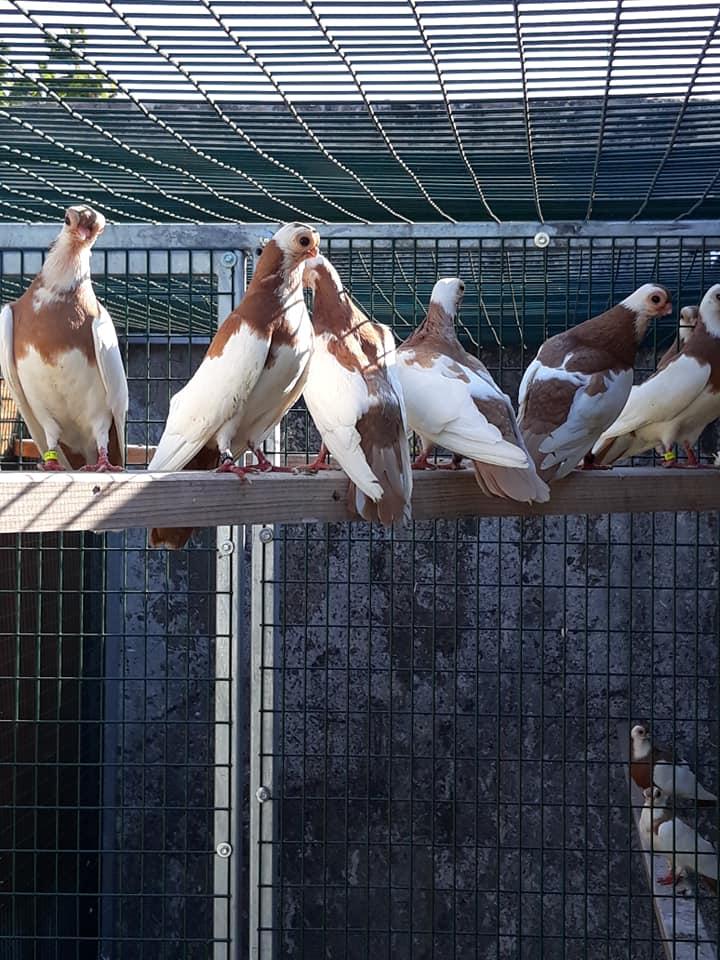 Budapeşte japon güvercini 031