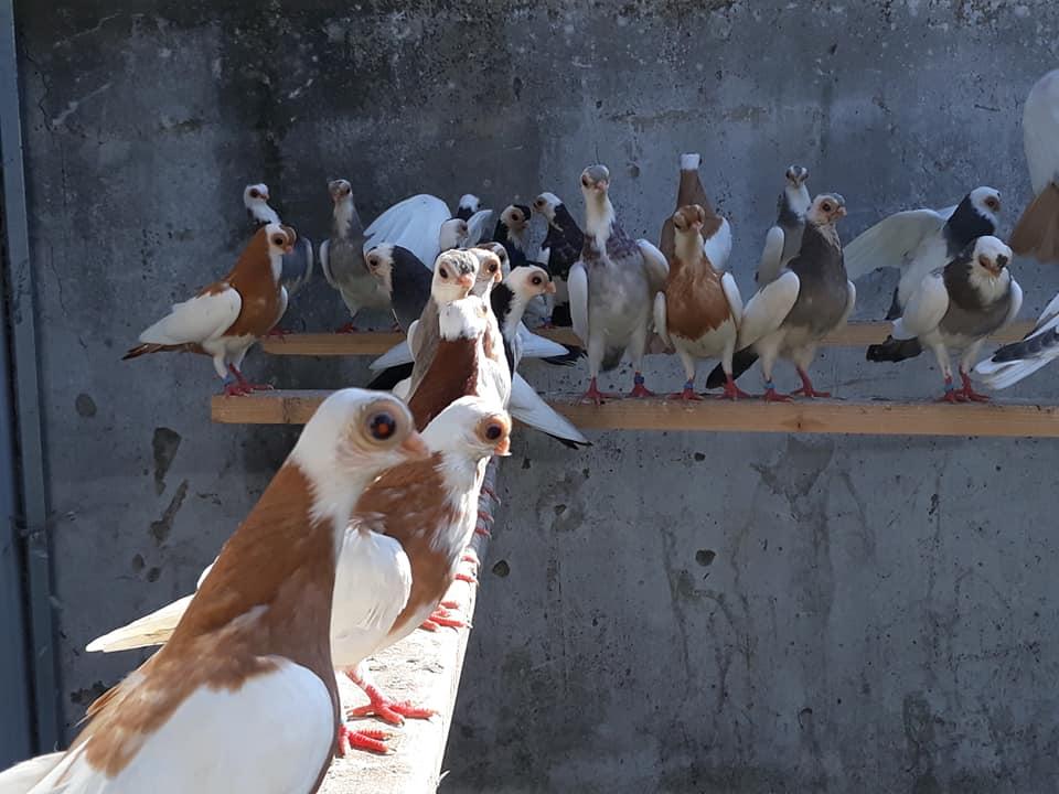 Budapeşte japon güvercini 034