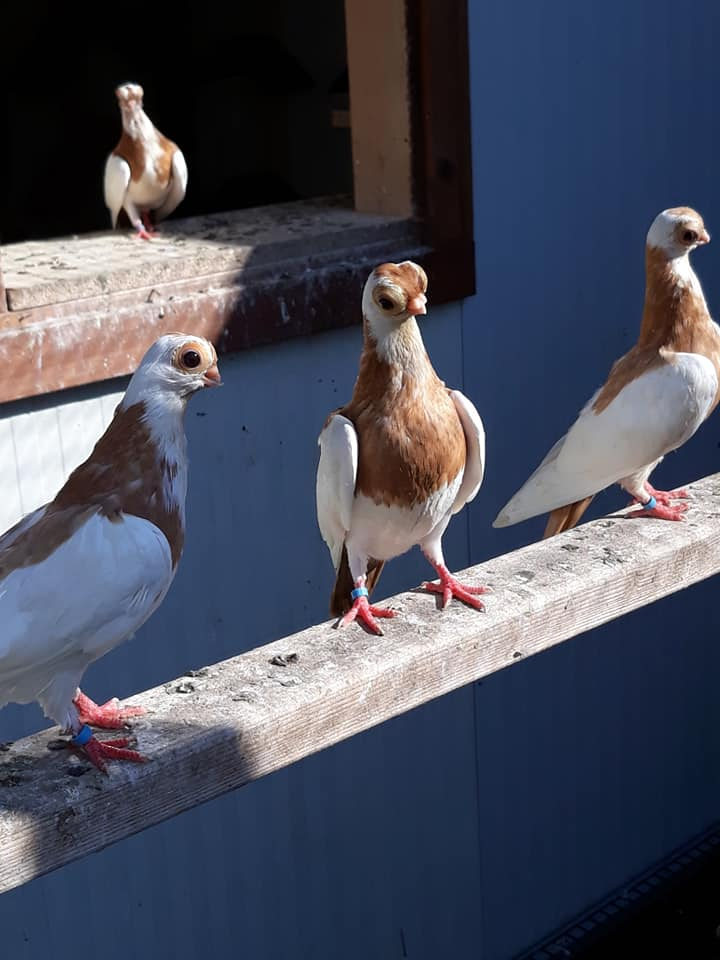 Budapeşte japon güvercini 035