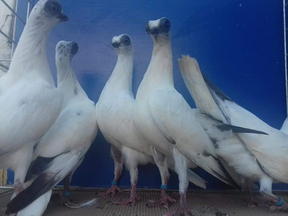 Budapeşte japon güvercini 036