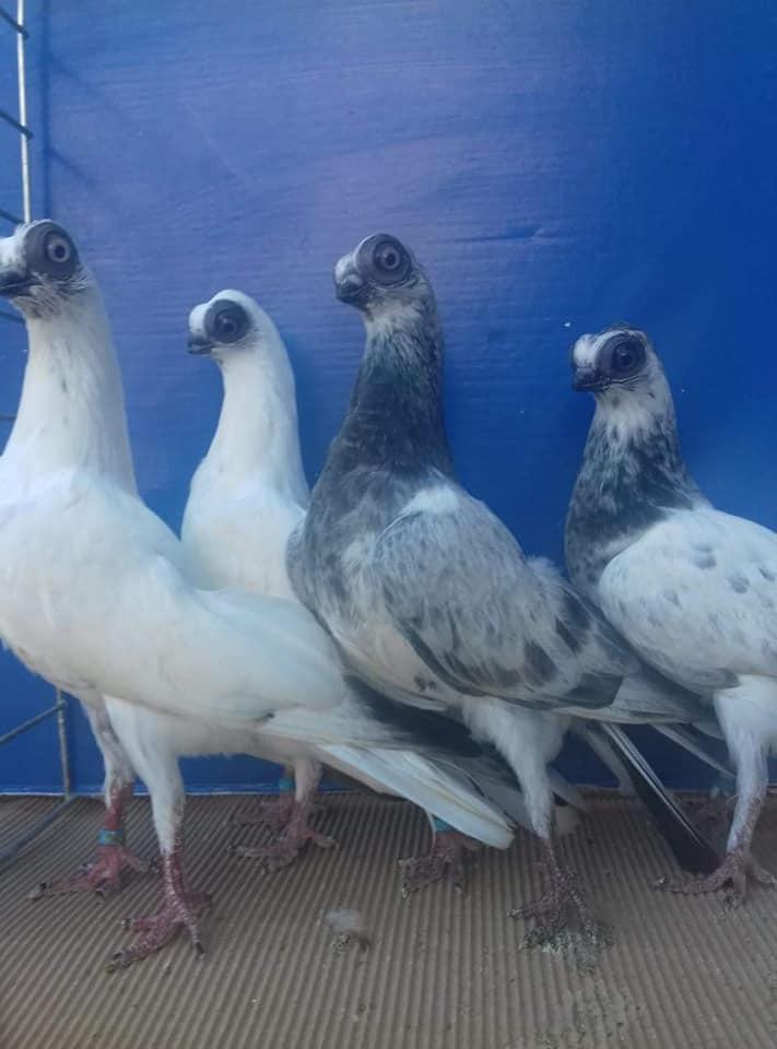 Budapeşte japon güvercini 039