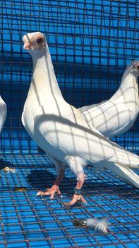 Budapeşte japon güvercini 043