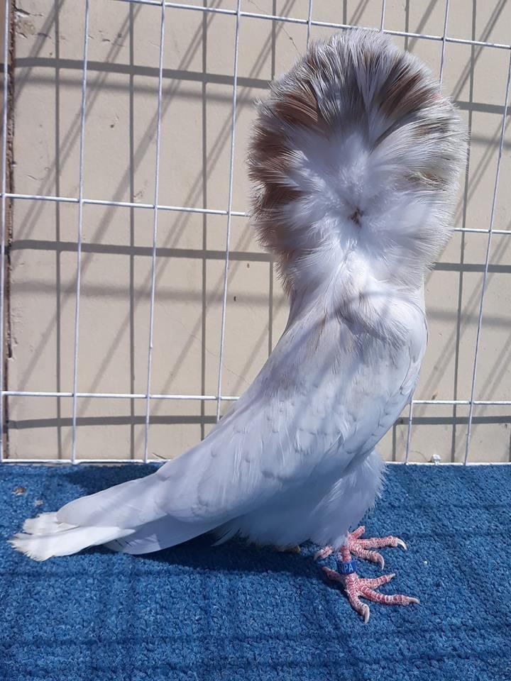 Jacobin pigeons 009