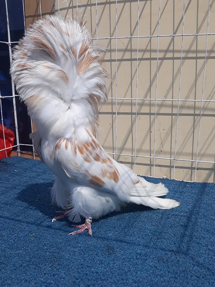 Jacobin pigeons 011