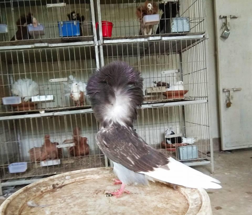Jacobin pigeons 025