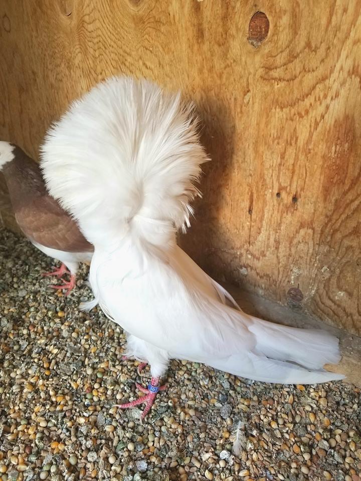 Jacobin pigeons 026