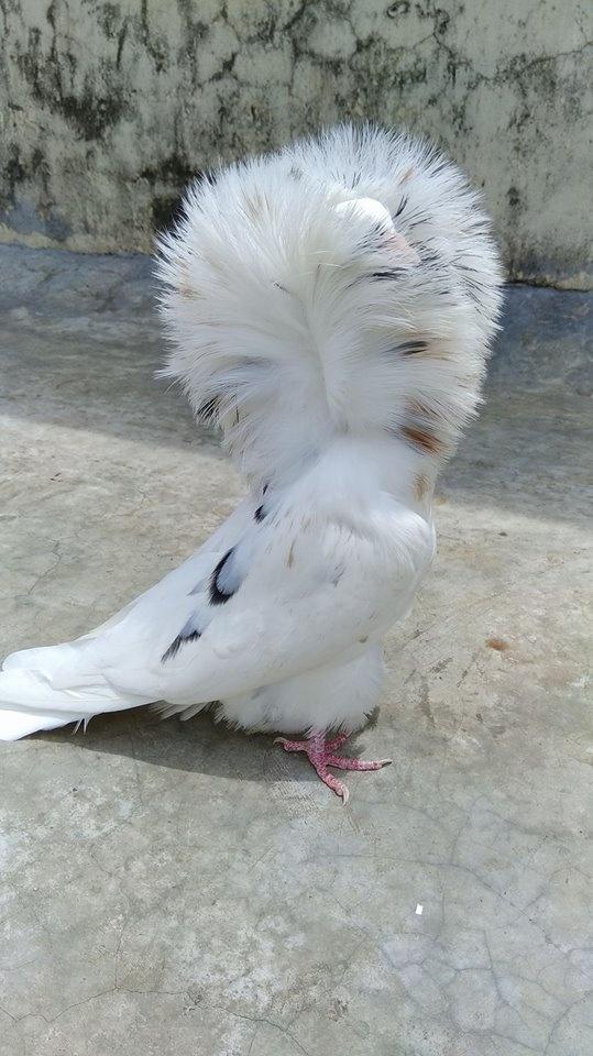 Jacobin pigeons 027