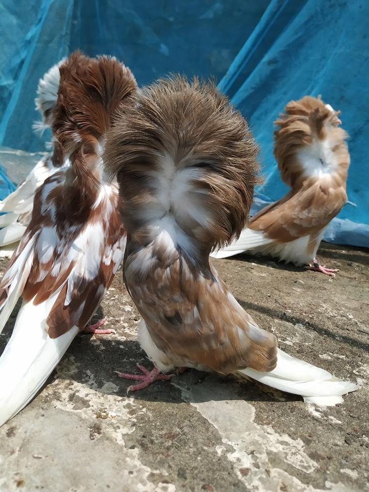 Jacobin pigeons 028