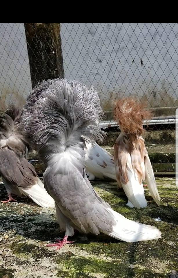 Jacobin pigeons 031