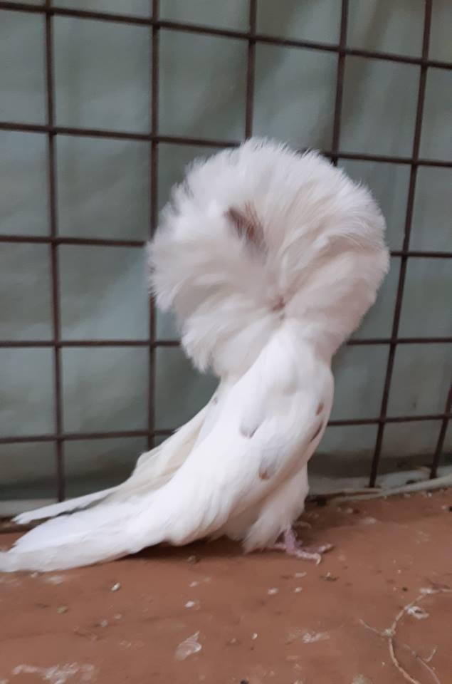 Jacobin pigeons 037