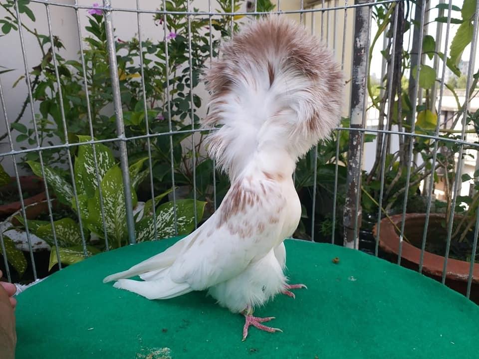 Jacobin pigeons 038