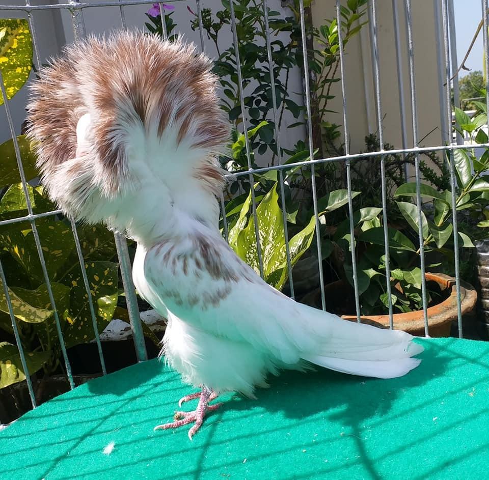 Jacobin pigeons 039