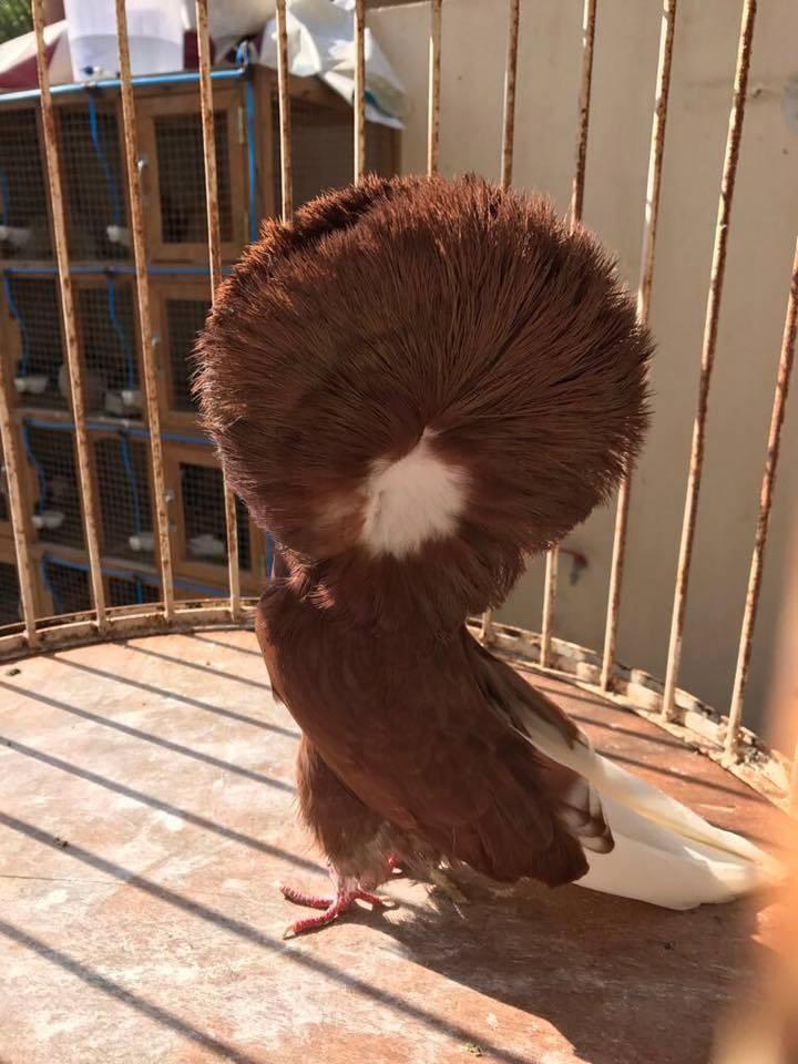 Jacobin pigeons 040