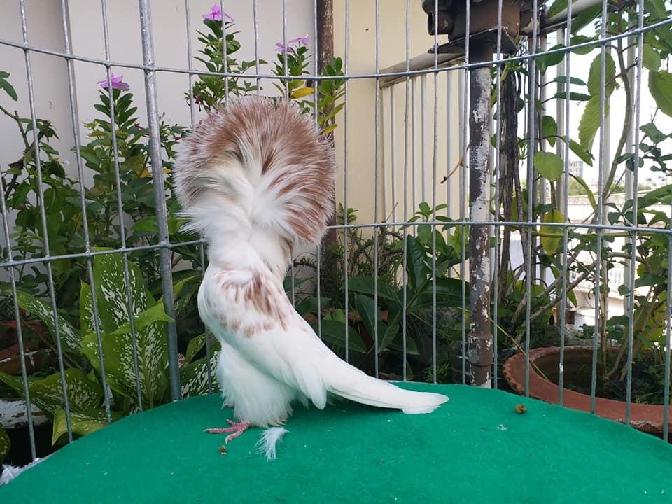 Jacobin pigeons 041
