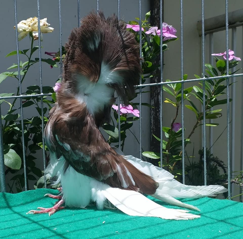 Jacobin pigeons 042