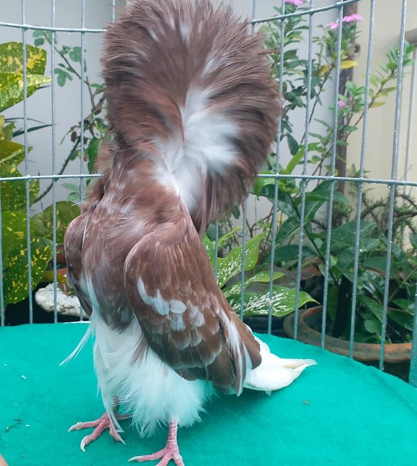 Jacobin pigeons 043