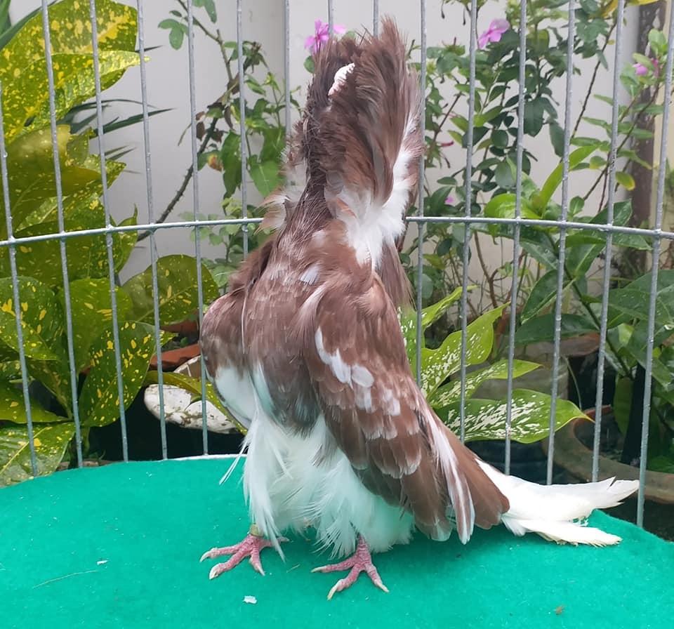 Jacobin pigeons 047