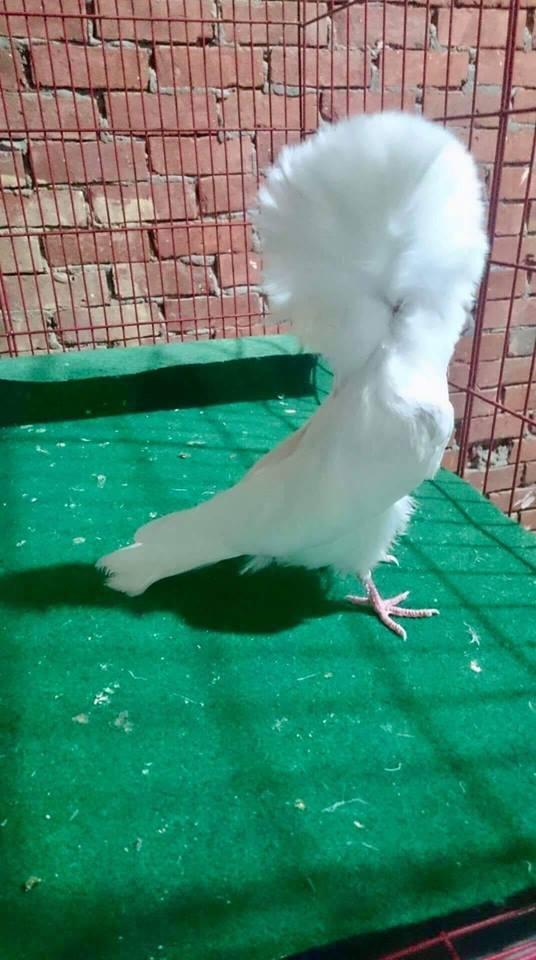 Jacobin pigeons 055