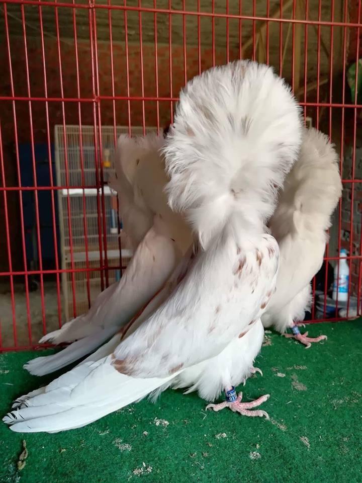 Jacobin pigeons 058
