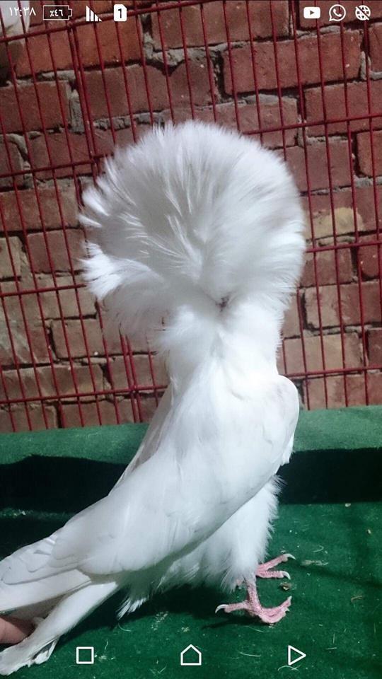 Jacobin pigeons 059