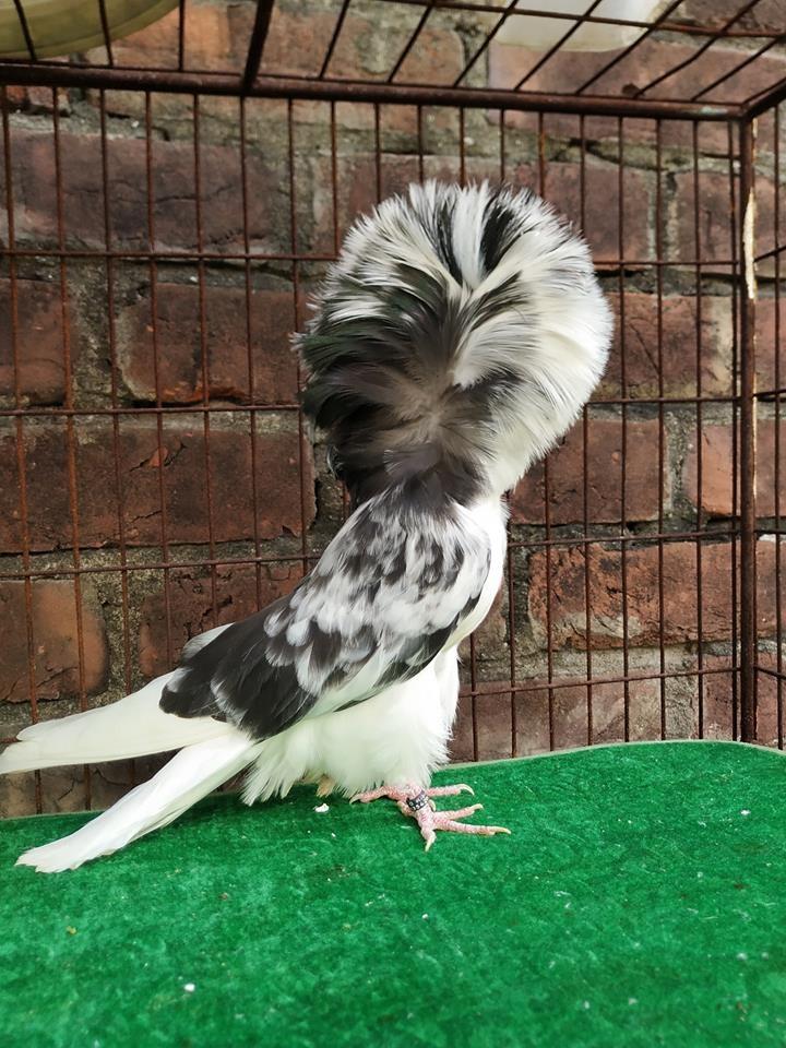 Jacobin pigeons 062