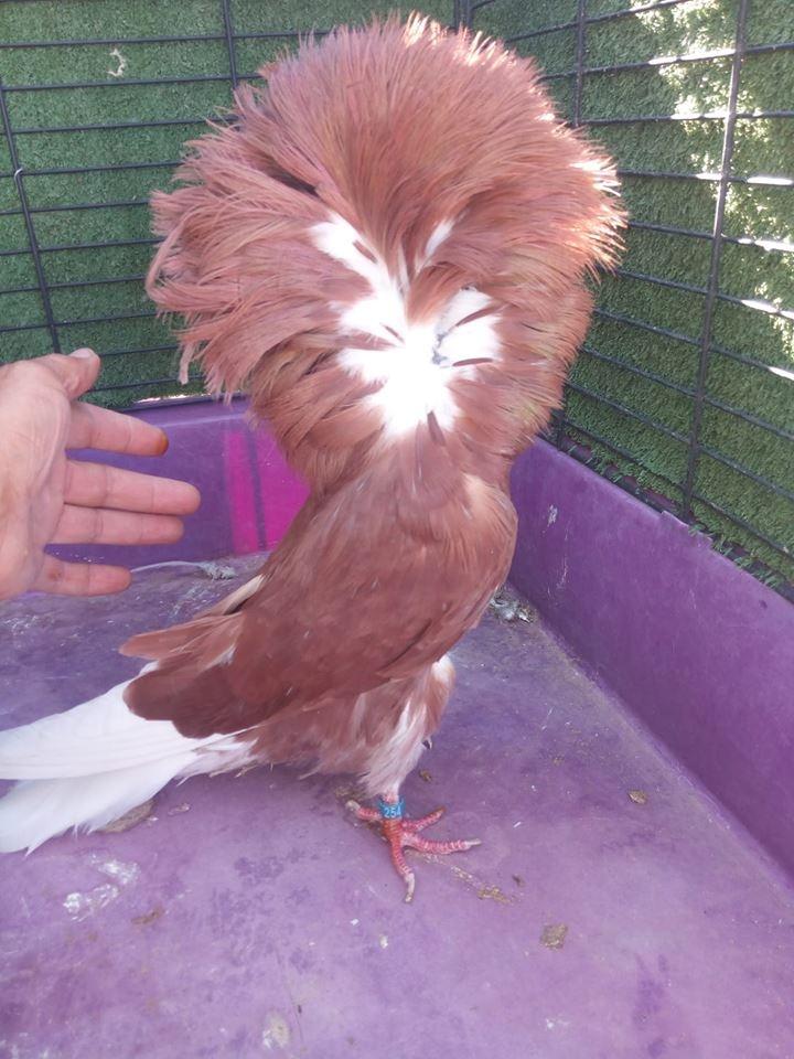 Jacobin pigeons 063