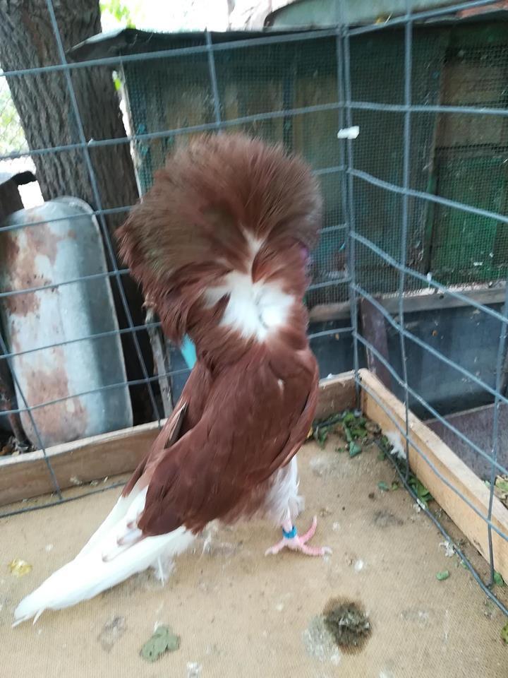 Jacobin pigeons 064