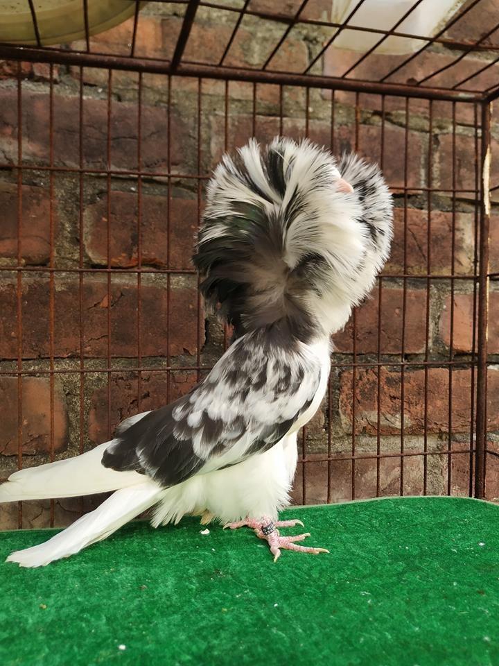 Jacobin pigeons 067