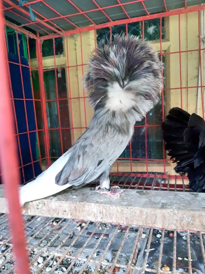 Jacobin pigeons 071