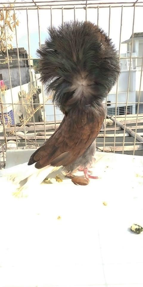 Jacobin pigeons 074