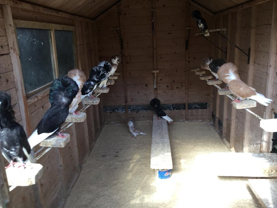 Jacobin pigeons 075