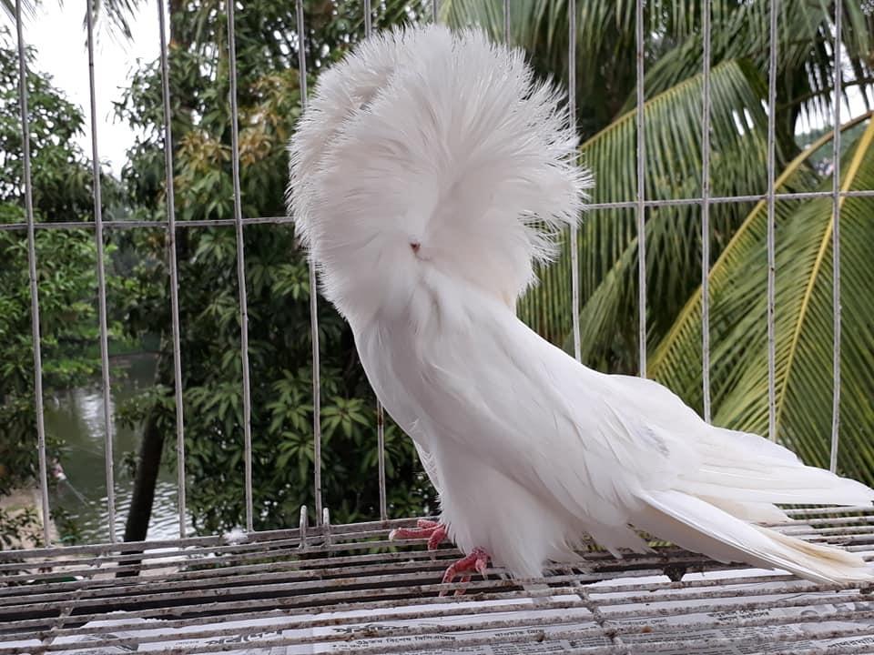 Jacobin pigeons 077