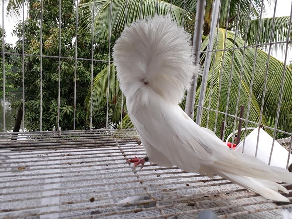 Jacobin pigeons 081