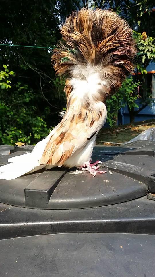 Jacobin pigeons 088