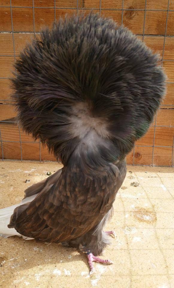 Jacobin pigeons 098
